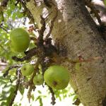 ต้นมะเดื่ออุทุมพร