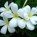 ดอกลั่นทมขาว