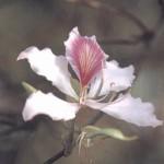 ดอกเสี้ยวดอกขาว
