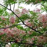 ต้นกัลปพฤกษ์