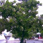 ต้นสารภีไทย