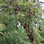 ต้นมะขาม