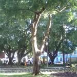 ต้น Brazilwood