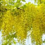 ดอกราชพฤกษ์ ดอกไม้ประจำชาติของไทย