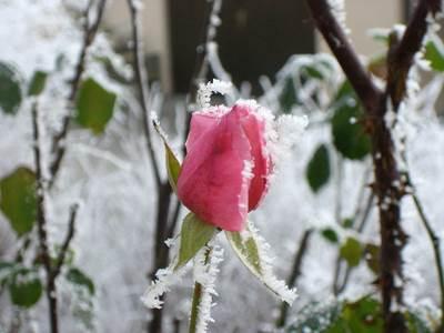 แม่คะนิ้งหรือน้ำค้างแข็งในฤดูหนาว