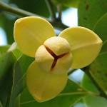 ดอกไม้ประจำชาติกัมพูชา