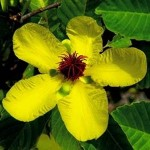 ดอกไม้ประจำชาติบรูไน