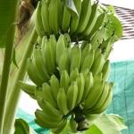กล้วยหักมุก