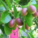 ประโยชน์ของมะม่วงหาวมะนาวโห่