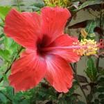 ดอกไม้ประจำชาติมาเลเซีย