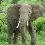 ช้างมีกี่สายพันธุ์